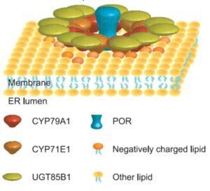 metabolon