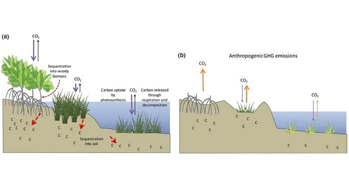 plantae | review: coastal wetland blue carbon | plantae coastal wetland diagram #13