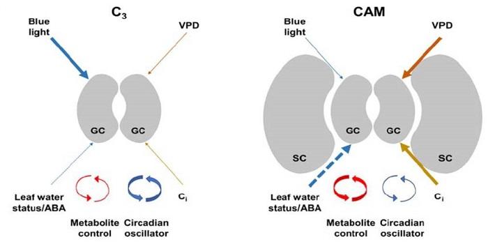 Plantae Update Stomatal Biology Of Cam Plants Plantae
