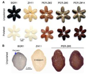 Plantae   Metabolic engineering of anthocyanin and ...