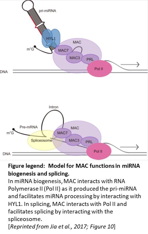 Plantae making connections mac function in splicing and microrna to explore mirna biogenesis in arabidopsis jia et al 2017 screened for mutants with decreased mirna activity in plants containing a construct that ccuart Gallery