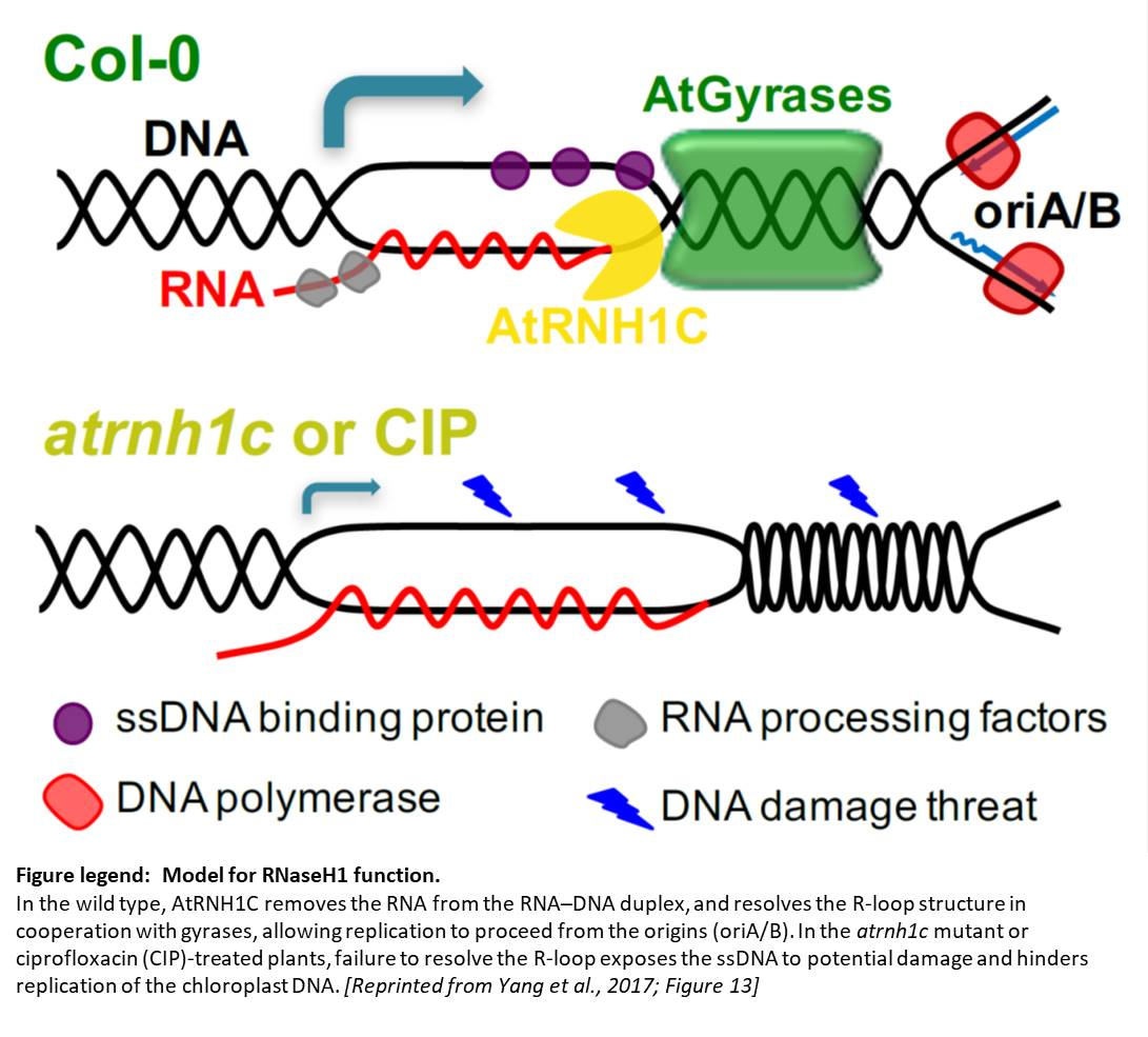 Plantae Thrown For A Loop How Rnase H1 And Dna Gyrases Limit R Loops And Maintain Genome Stability In Chloroplasts Plantae Gyrase belongs to a class of enzymes known as. how rnase h1 and dna gyrases limit r