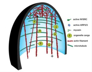 Plantae update the actin cytoskeleton functional arrays for a dynamic network of filamentous elements the cytoskeleton holds the key to patterning of the cell wall during growth this review focuses on the actin ccuart Gallery