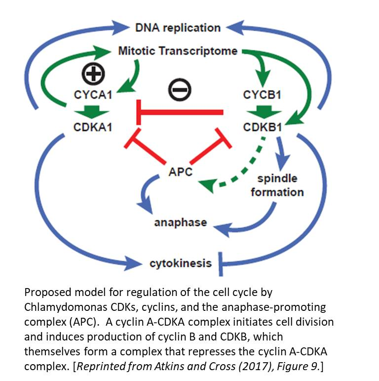 Plantae Cell Cycle Regulation By Chlamydomonas Cyclin Dependent