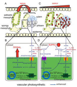 Plantae | Review: C4-like photosynthesis has important