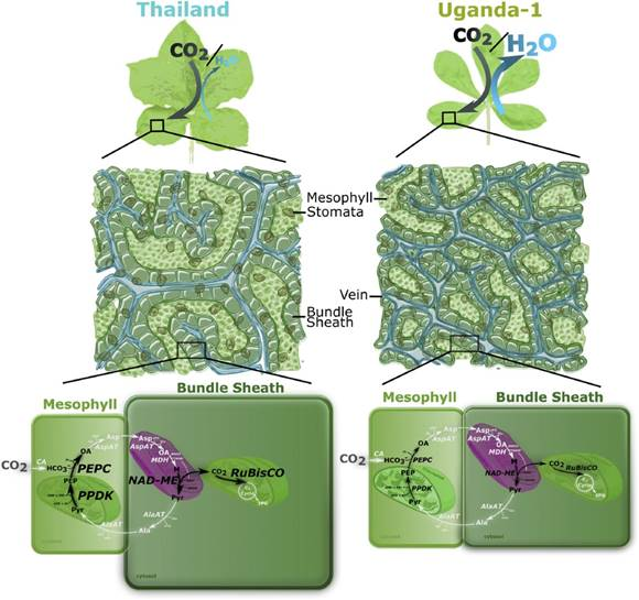 Plantae Natural Variation Reveals Interplay Between C4 Biology And