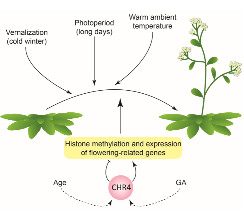 Plantae | Roles for CHROMATIN REMODELING 4 in Arabidopsis ...