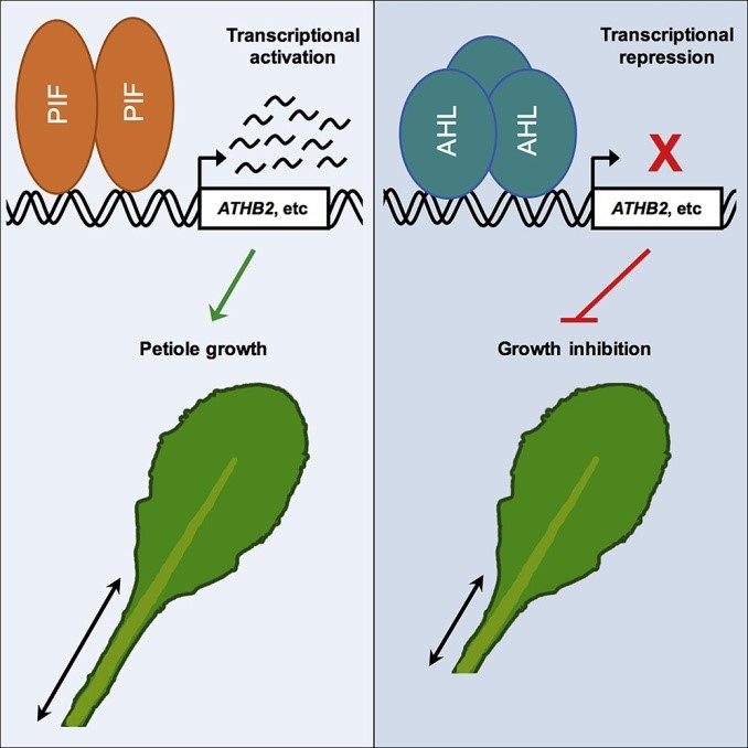 AT-hook Transcription Factors Restrict Petiole